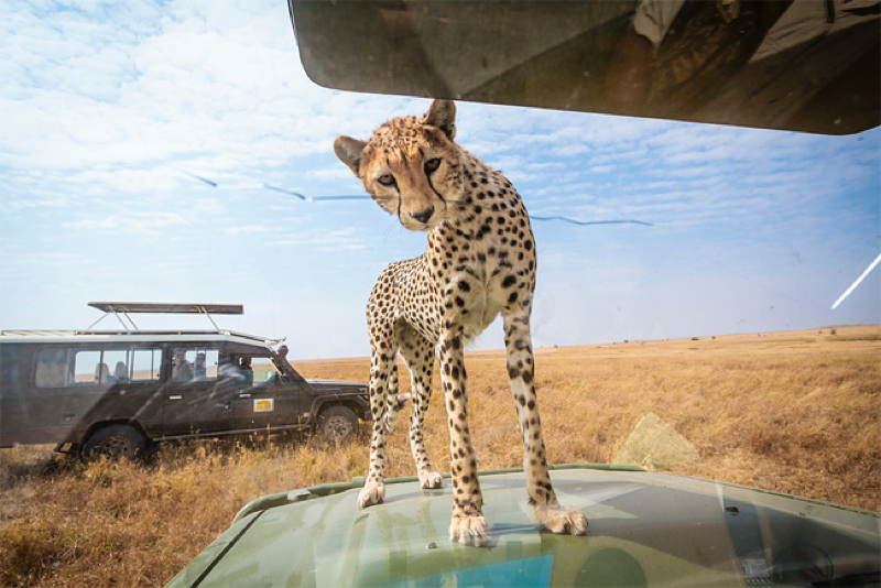 Cheetah Hood