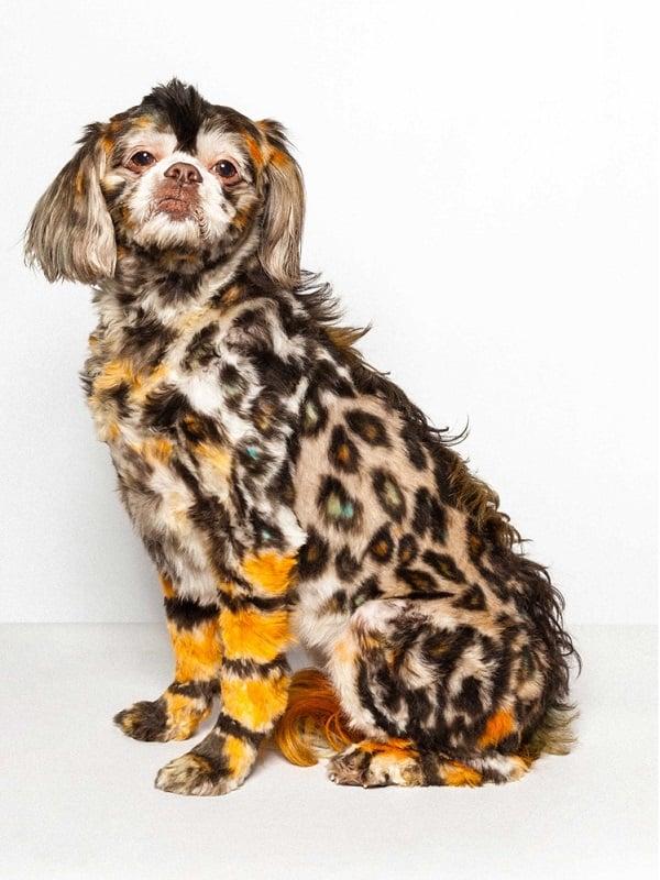 Dog Groomed Like Cheetah