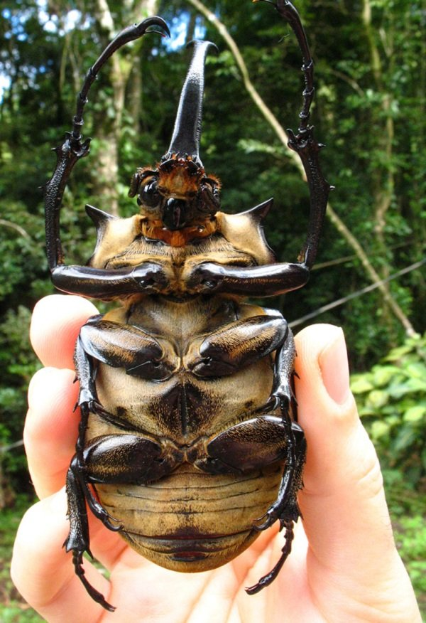 Huge Elephant Beetle