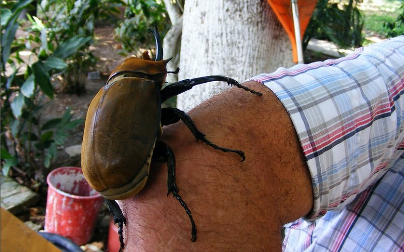 Creepy Insects Elephant Beetles