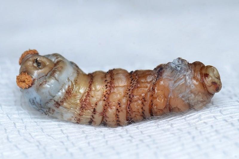 Human Botfly Larvae