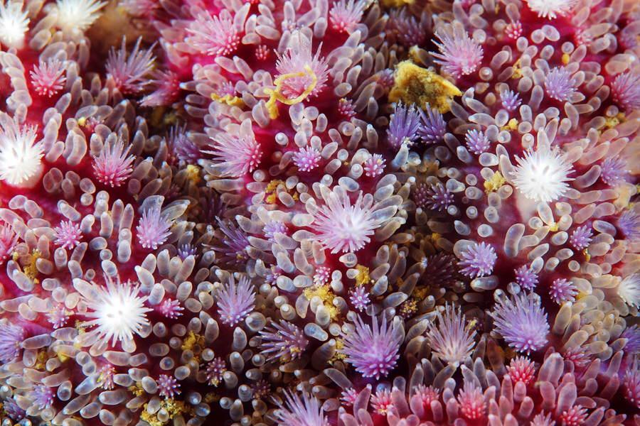 Deep Sea Photography Papposus