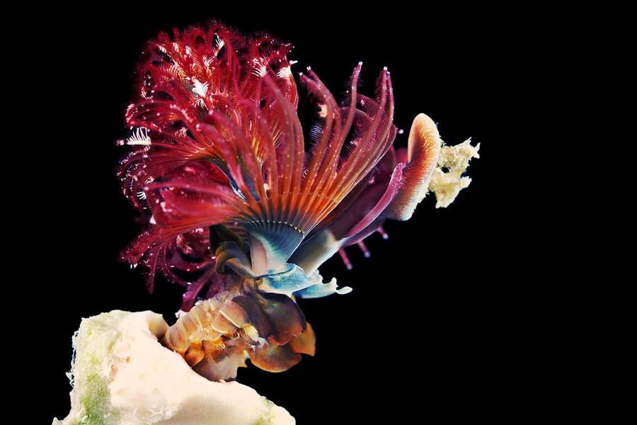 Deep Sea Photography Spiro Branchus