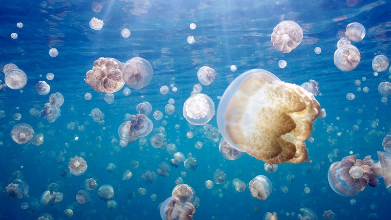 Jellyfish Migrating Through Lake