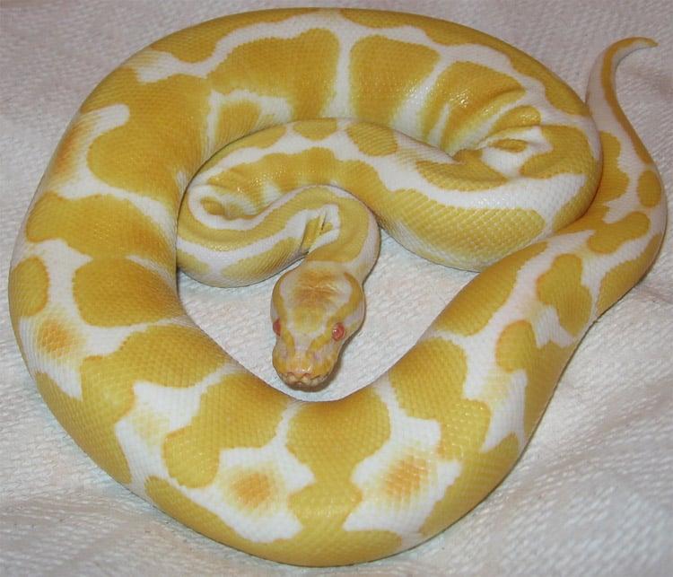 Color Mutations Albino Python