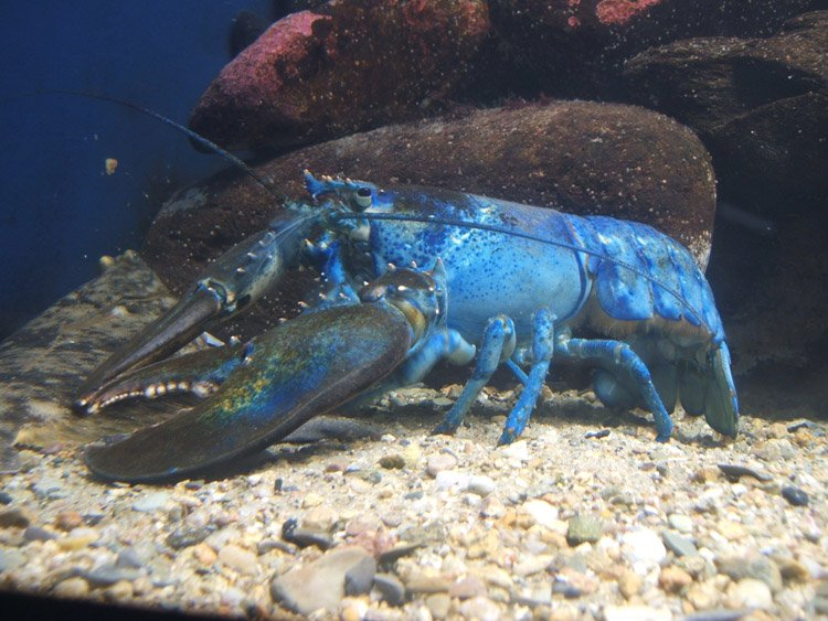 Color Mutations Blue Lobster