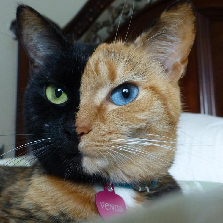 Color Mutations Chimera Cat