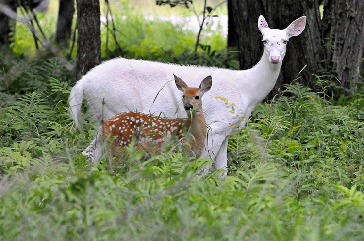 Color Mutations Leucistic Deer