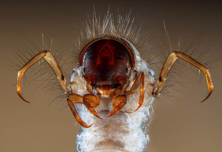 Microscopic Photography Caddis Fly