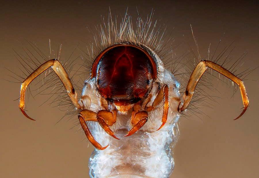 Microscopic Photography Caddis Fly
