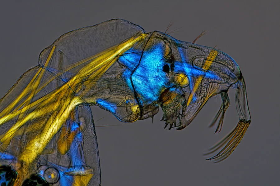 Microscopic Photography Phantom Larva