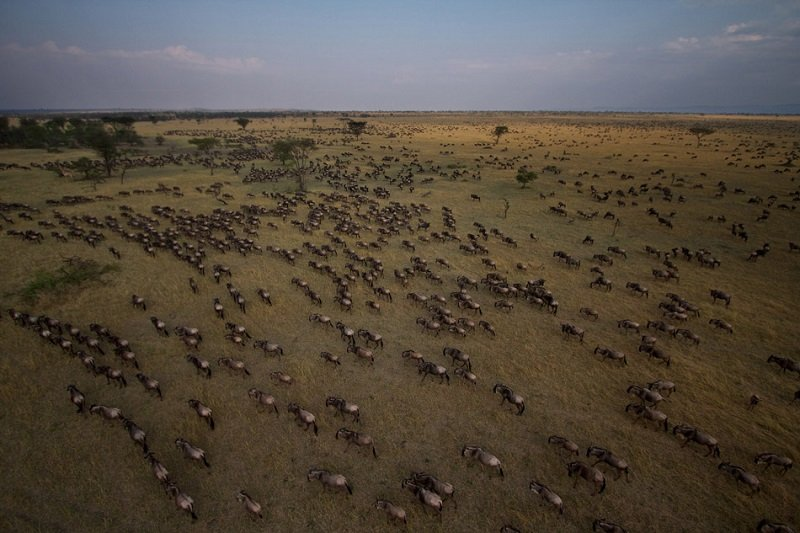 Aerial Photograph Of Serengeti Migration