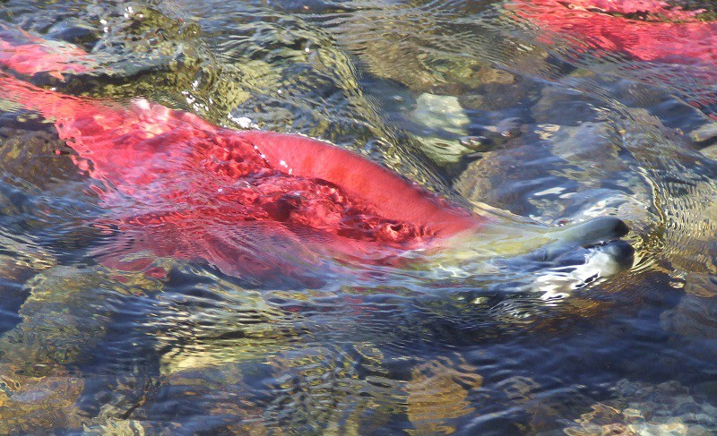 Natural Events Salmon Migration