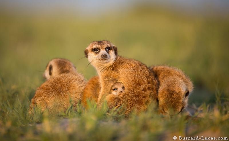 Adorable Three-Week-Old Meerkat