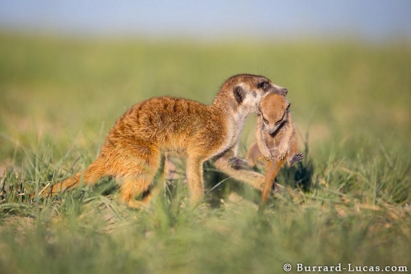 Adult Carries 3-Week-Old Meerkat
