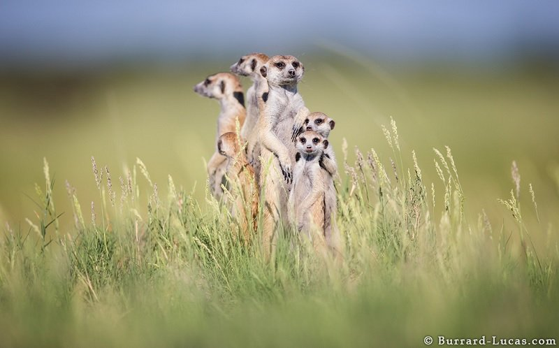 Meerkat Family Together