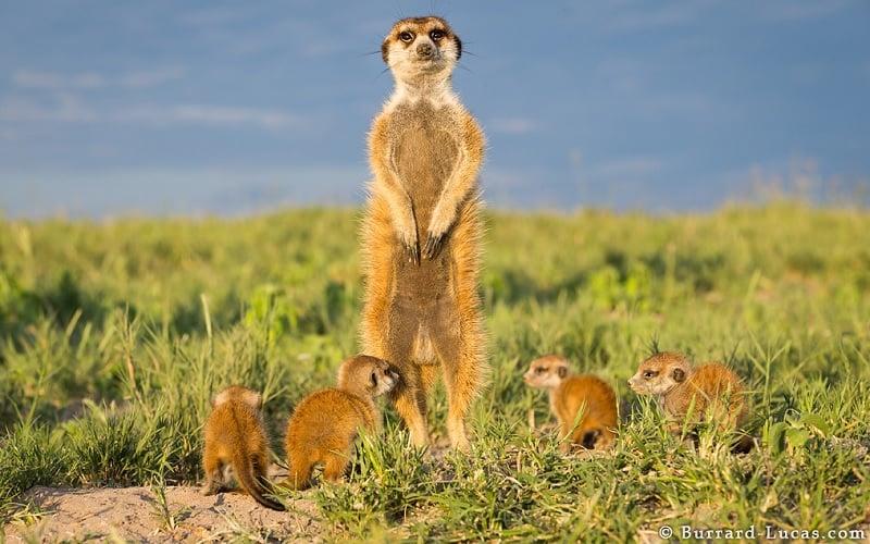 Mother Meerkat Guards 3-Week-Old Babies