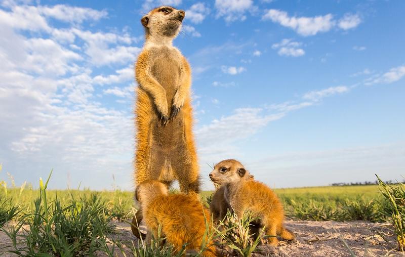 Cute Meerkat Babies