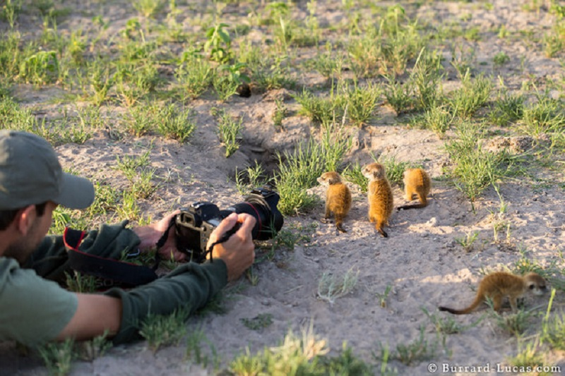 Baby Meerkats Photographed