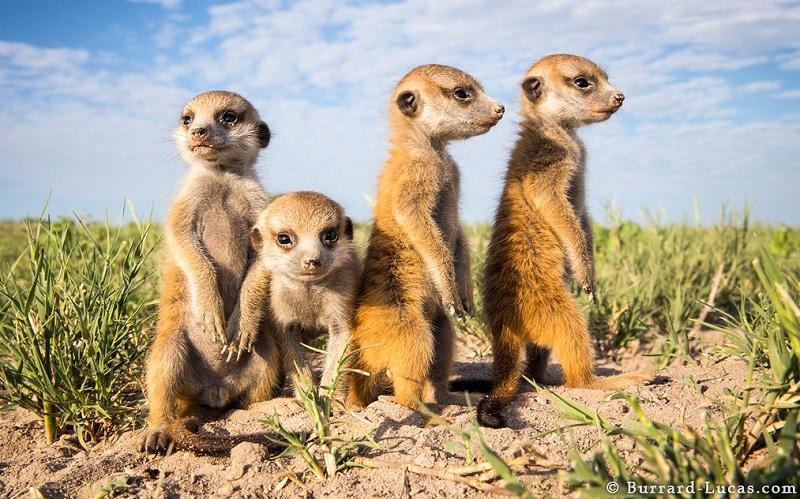 Three-Week-Old Baby Meerkat