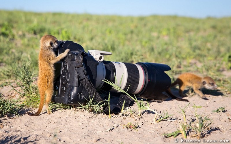 Baby Meerkats Taking Pictures