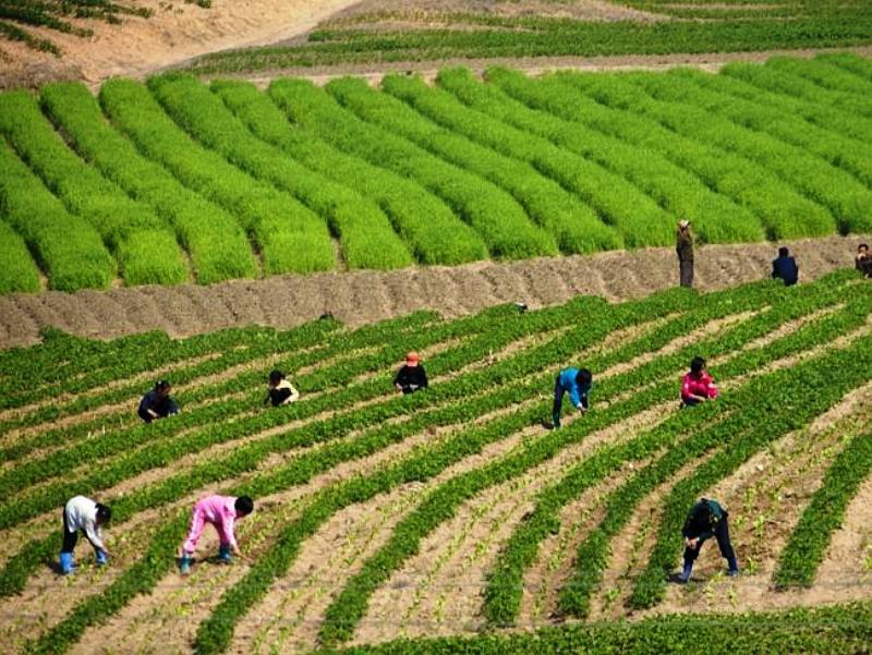 Farming In North Korea