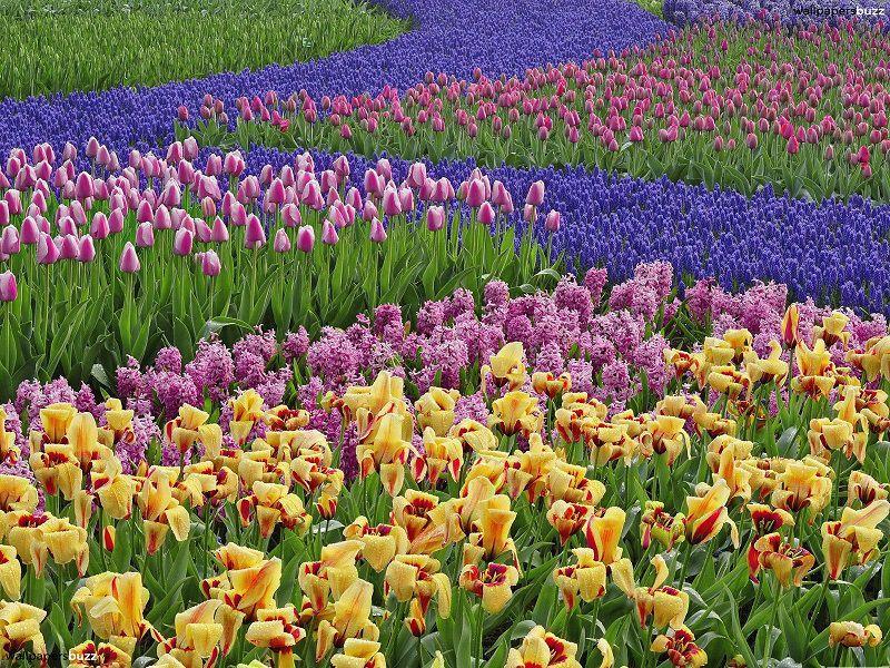 Zig-Zag Tulip Fields
