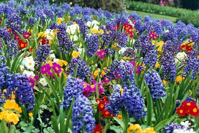Hyacinth In Spring