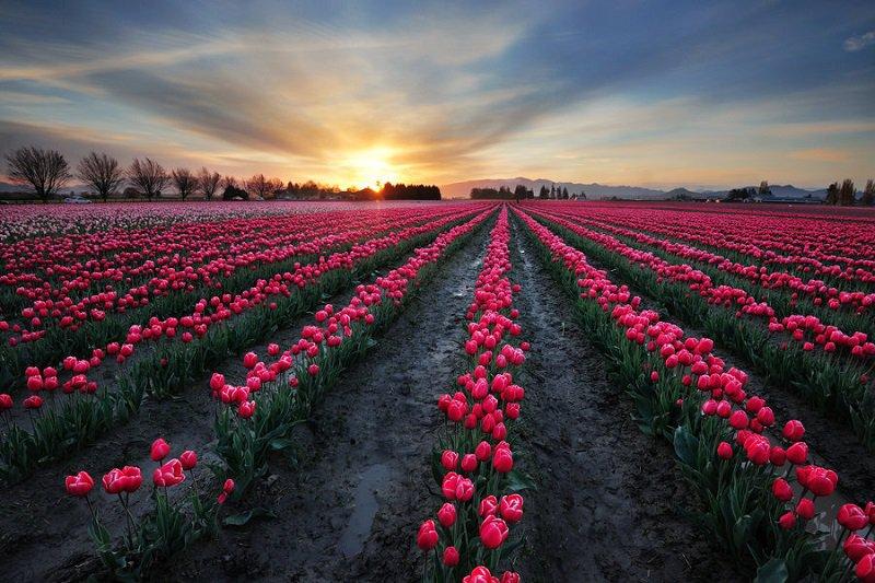 Skagit Valley Spring Blooms