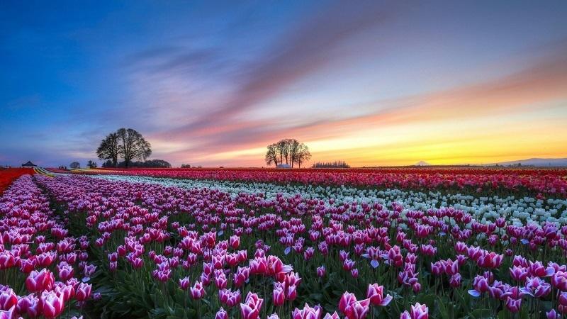 Spring Blooms During Sunset