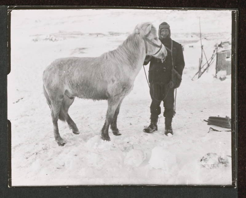 Antarctic Exploration Expedition Pony