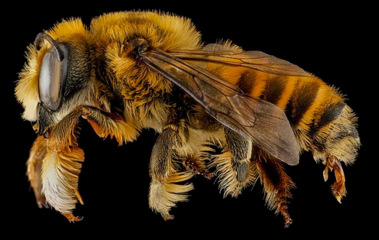 Macro Bee Photography Amber Fuzz
