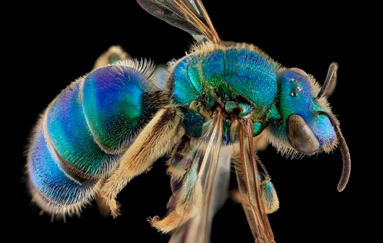 Macro Bee Photography Blue Green