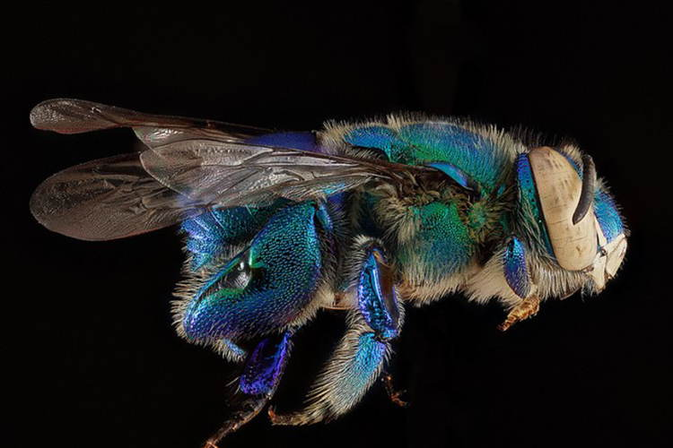 Macro Bee Photography Blue Green Side