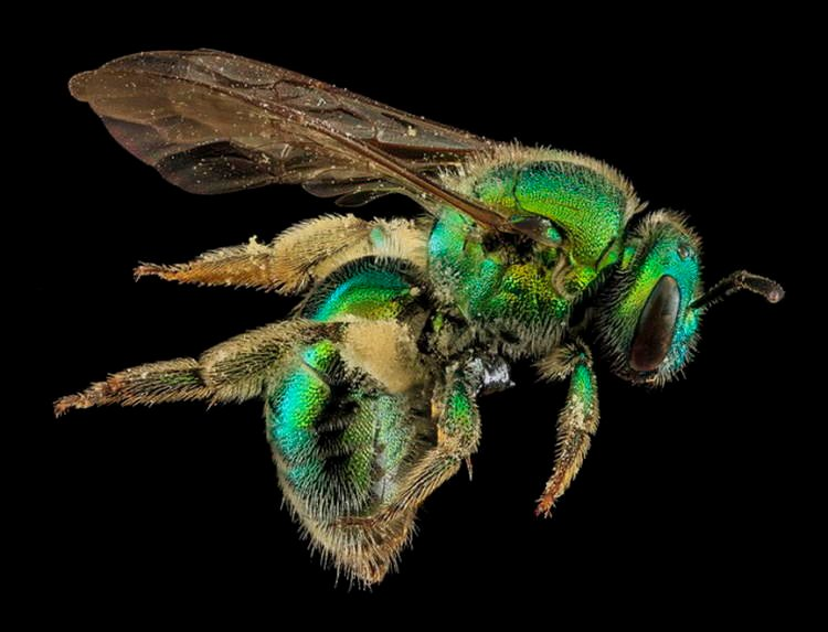 Macro Bee Photography Green