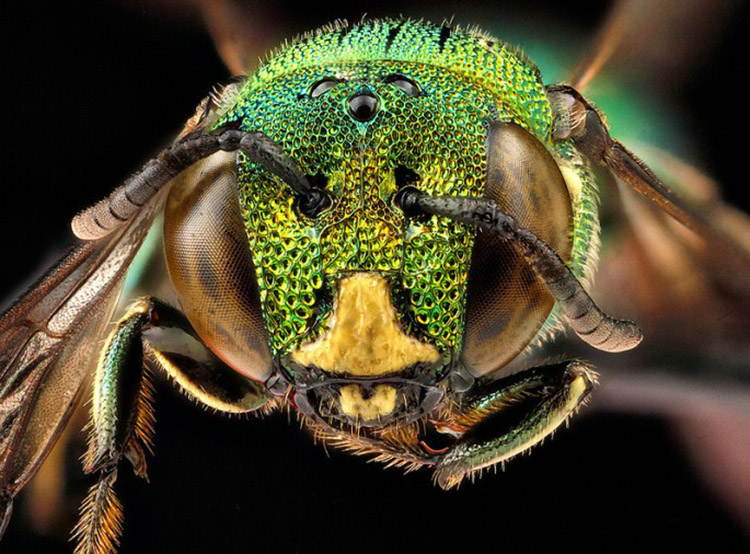 Macro Bee Photography Green Bronze