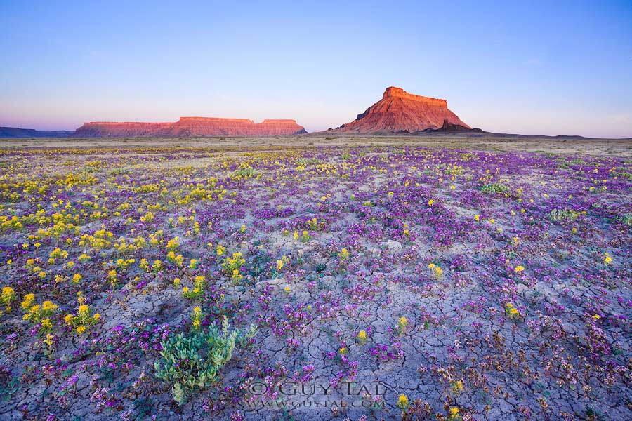 Desert Wildflowers Morning