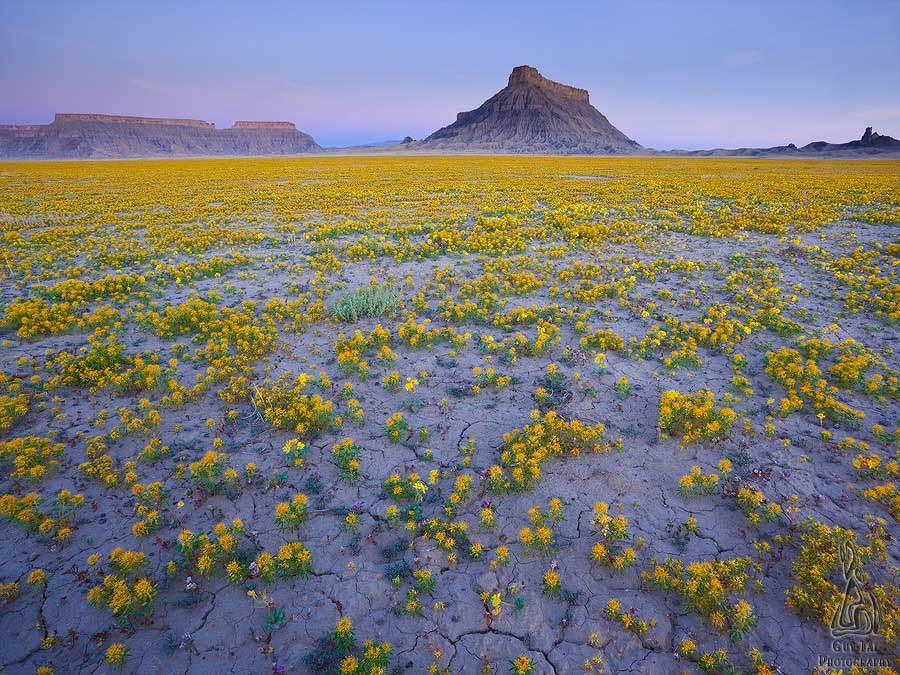 Desert Wildflowers Rare Beauty