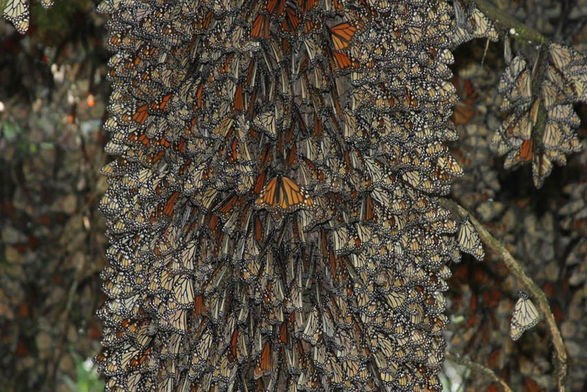 Natural Phenomena Monarch Cluster