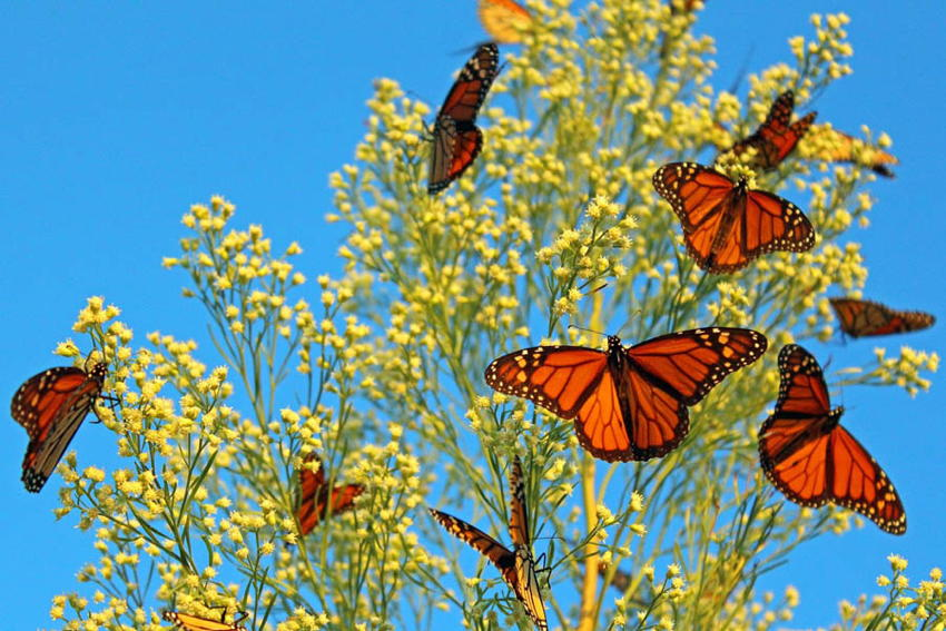 Natural Phenomena Monarch Flower