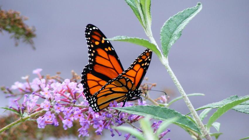 Natural Phenomena Monarch Purple Flower