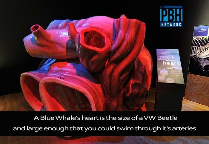 Amazing Facts Blue Whale Heart