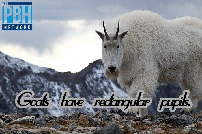 Goats Pupils