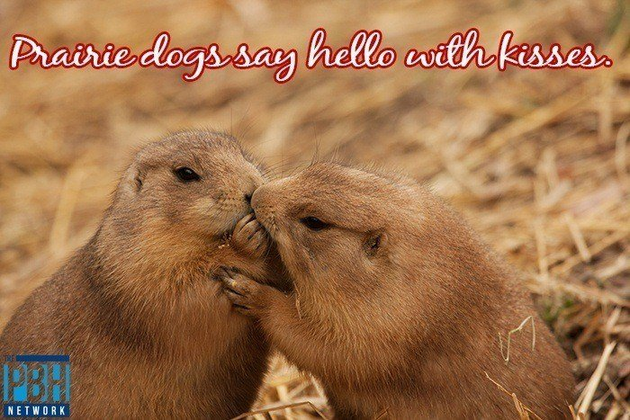 How Prairie Dogs Say Hello