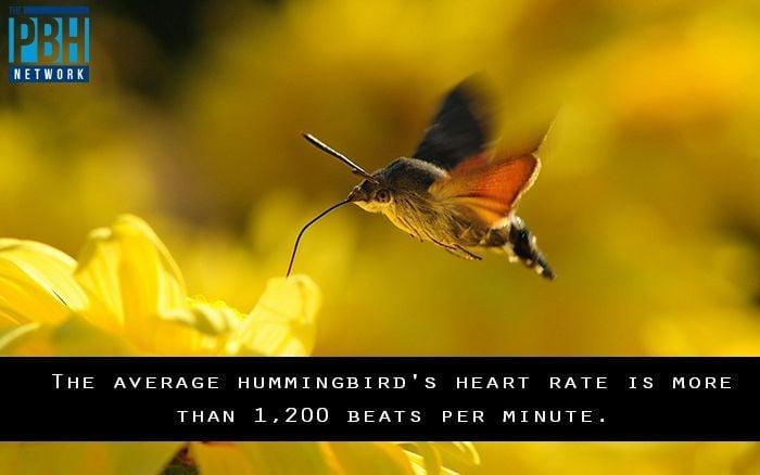 Hummingbird Heart Rate