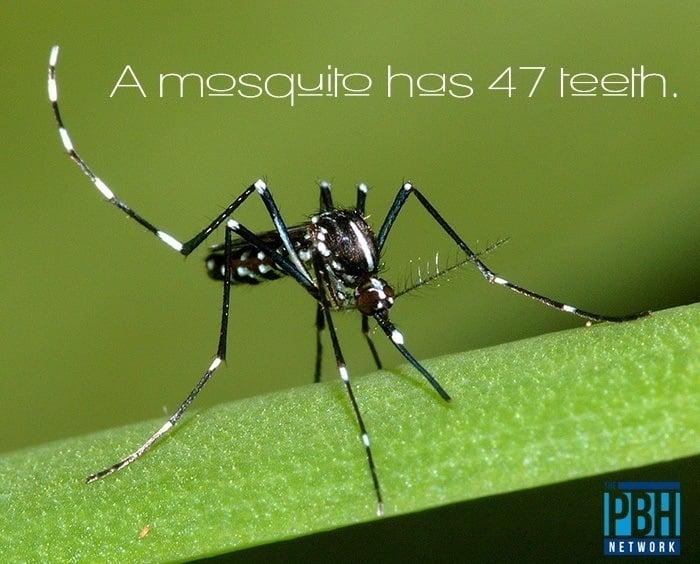 Mosquito Teeth