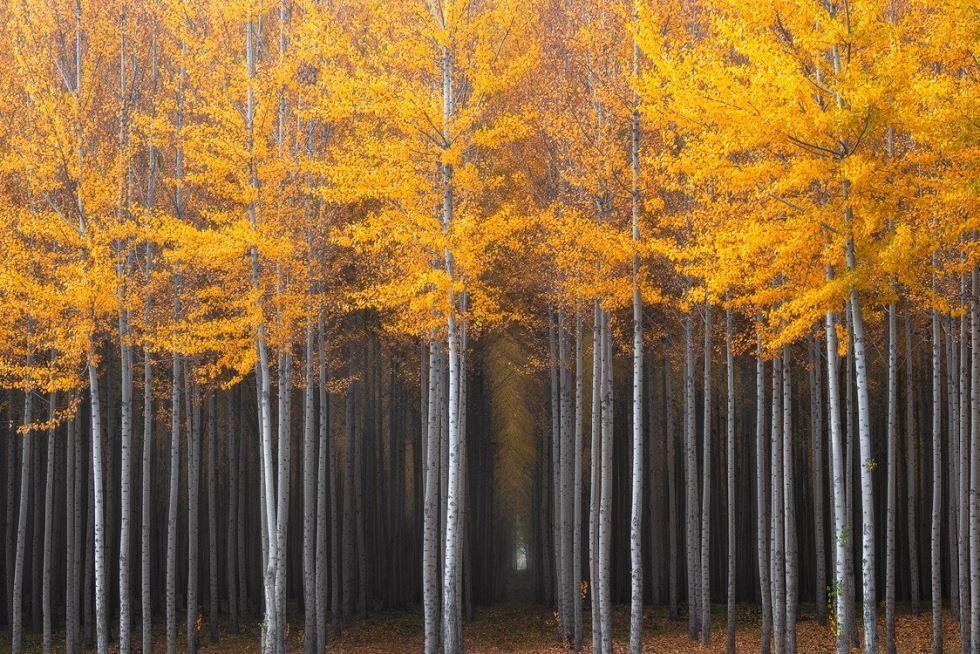 Poplar Trees Northern Oregon