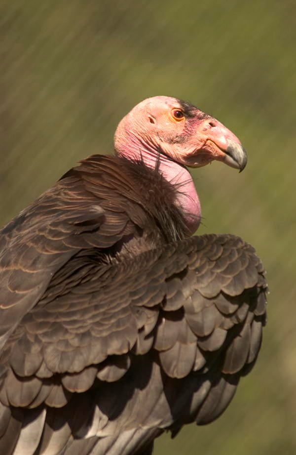 Ugliest Animals Condor Profile