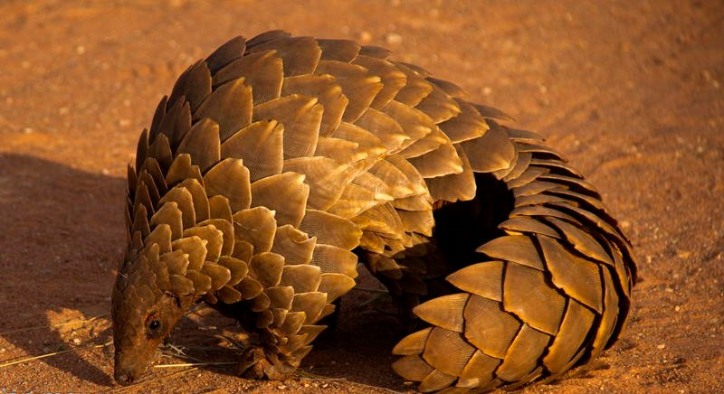 Ugliest Animals Pangolin Crawling