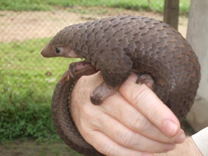 Ugliest Animals Pangolin